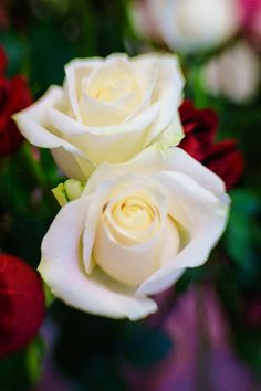 White roses by Mark Achilles Villanueva on 500px