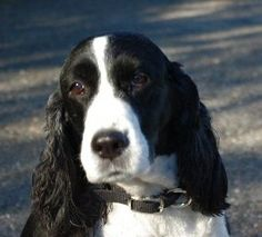 Springer Spaniel - Fly at 13.5 years young and going strong!