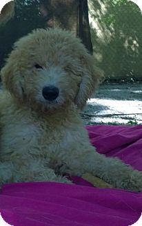 Overland Park, KS - Goldendoodle/Golden Retriever Mix. Meet Dandy, a puppy for adoption. http://www.adoptapet.com/pet/16497036-overland-park-kansas-goldendoodle-mix