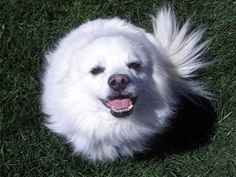 """http://obedient-dog.net/dog-breeds/american-eskimo-dog-training-secrets.html  If you want to know all the American Eskimo Dog information, your best solution is the new """"American Eskimo Dog Training Secrets"""" eBook. With the """"American Eskimo Dog Training Secrets"""" you know all the American Eskimo Dog information that you need. If you know all American Eskimo Dog information your dog will obey all your rules."""