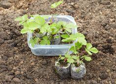 посев земляники в торфяные таблетки, рассада перед высадкой