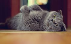 Funny Grey Cat HD Wallpaper