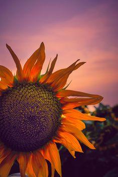 SunFlower by Catalin Petre - Photo 1000466828 / Explore, Landscape, Plants, Scenery, Plant, Corner Landscaping, Planets, Exploring