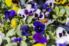 A plathora of pansies proves to be irresistible to this late-season butterfly Spring Colors, Pansies, Butterfly, Seasons, Garden, Plants, Garten, Seasons Of The Year, Flora