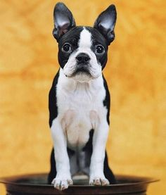 "The Boston Terrier's nickname is ""the American Gentleman,"" and it's not just for their black-and-white, tuxedo-like coats. They are also polite as a dog can be, and therefore ideal apartment pets. They're quiet, so they won't annoy your neighbors, and they bond closely with their owners, showing undying affection and loyalty. They're also conveniently small, and require only moderate amounts of exercise. Brisk city walks should be enough; no sprawling backyards necessary."