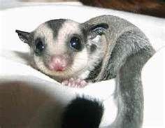 Sugar Glider - talking Mack into getting one! Sooooo cute!