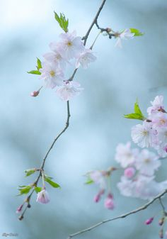 C.blossoms by Sky-Genta, via Flickr--I wish I could take a pic like this....