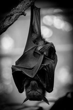 Horse and Man - Exploring the bond between equines and their people. Murcielago Animal, Beautiful Creatures, Animals Beautiful, Animals And Pets, Cute Animals, Bat Animal, Hanging Bat, Baby Bats, Fruit Bat