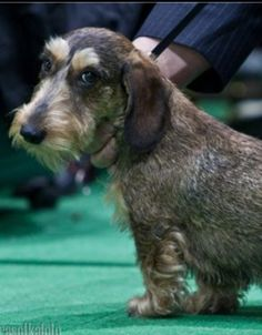 wire haired dachshund ❤ I want one of these one day...