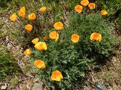 California poppies Ukiah, CA