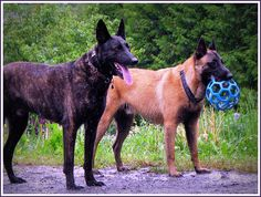 Belgian Malinois vs Dutch Shepherd | Recent Photos The Commons Getty Collection Galleries World Map App ...