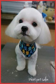 Maltese Haircuts Styles Pictures 146276 32 Best Maltese Haircut Images On Pinterest Haircu Maltese Haircut Dog Haircuts Maltese Puppy