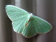 LOVE the color of this moth. So much.