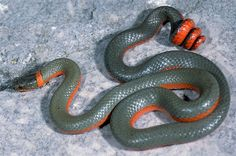 Diadophis punctatus pulchellus - Coral-bellied Ring-necked Snake