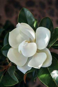 Rare Flowers, Botanical Flowers, Flowers Nature, Vintage Flowers, White Flowers, Beautiful Flowers, Flower Shape, My Flower, Flower Art