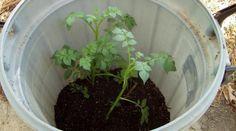 Cultiver des pommes de terre dans un tonneau a plusieurs avantages : Cela réduit la quantité de désherbage, diminue l'exposition aux parasites et aux champignons. En plus, vous ne risquez pas d'endommager les pommes de terre en creusant la terre avec une pelle pour les ramasser.  Découvrez l'astuce ici : http://www.comment-economiser.fr/faire-pousser-45-kg-pommes-terre-tonneau.html?utm_content=bufferbc26f&utm_medium=social&utm_source=pinterest.com&utm_campaign=buffer