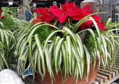 A poinsettia is complemented by a variegated spider plant and randomly placed, small asparagus ferns that fill in open spaces in this unique holiday decoration.