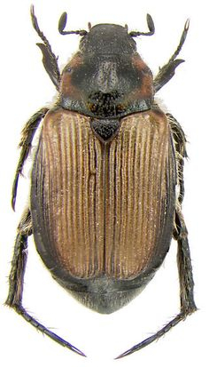 Rutelinae sp. - Strigoderma arbicola