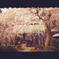 専称寺 枝垂桜