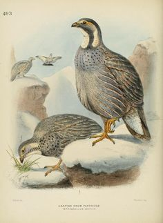 c 1.v.7 - A history of the birds of Europe : - Biodiversity Heritage Library