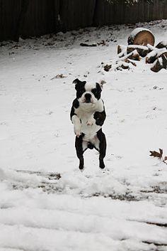 Boston Terrier. Jax. Soaring through the air!
