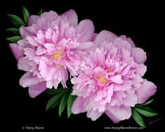 """20% of the profit from the sales of any size print of this """"Kansas Peony"""" will be donated by the Artist, Mary Ahern to the """"Koman Foundation For the Cure"""" to help fight breast cancer."""