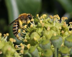 The ivy is flowering   WARNING - This post contains a heavy bee content from a French Garden.