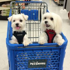 My first day in the United States and I get to go shopping. #arodwang #maltese #baileybee #puppylove #doglover #whitedog #aplacetolovedogs #dogoftheday #petlove #puppy #animalphotos #mydogiscutest #baileybee