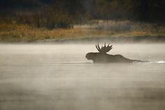 Misty Morning Moose Crossing