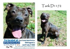 This is one gorgeous boy!! Meet Tank! CODE RED: TANK WILL BE KILLED IF NO COMMITMENT BY 6/12 6:30 PM- NEEDS RESCUE/FOSTER OR ADOPTION ASAP✫✫ Tank D-1172, Male - Young Adult Terrier, Pit Bull - Black/White. Very shiny coat! Happy guy! Pasco County Animal Services (Tampa Bay, FL) https://www.facebook.com/photo.php?fbid=488853354571022&set=a.436371343152557.1073741833.223854294404264&type=1&theater