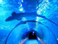 """10 Blue Shark Facts Say """"shark"""" and the fearsome great white shark immediately comes to mind. However, there are over 400 other species of sharks in the ocean, one of which is the elegant blue shar… Shark In The Ocean, Blue Shark, Shark Facts For Kids, Ocean Aquarium, Barcelona, Vinyl Photo Backdrops, Tunnel Of Love, Aquarium Design, Meditation Music"""