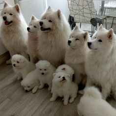 8 weeks old Cute Samoyed puppies available inbox for more details. Cute Baby Dogs, Cute Dogs And Puppies, Doggies, Fluffy Dogs, Fluffy Animals, Cute Funny Animals, Cute Baby Animals, Beautiful Dogs, Animals Beautiful