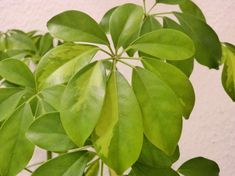 Sugárarália: így gondozd, ha jót akarsz neki   Hobbikert Magazin Plant Leaves, Plants, Plant, Planets