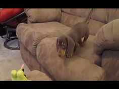 Dachshunds Are Awesome Compilation : Video Clips From The Coolest One