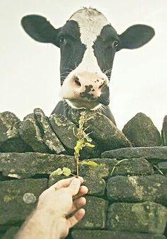 ❤️ Holsteins