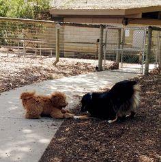 Play time at El Chorro Regional Park - San Luis Obispo, CA - Angus Off-Leash #dogs #puppies #cutedogs #dogparks #sanluisobispo #california #angusoffleash