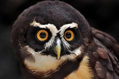 Spectacled Owl for logo
