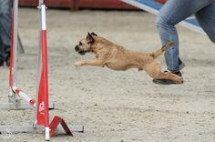 Border terrier Eddie and his agility fun