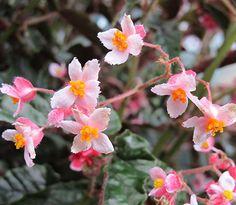Flowering Begonia #begonia #flower #terrarium