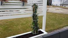 Hedera Hibernica planterad i pergola.