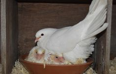 #White #Doves - Iris and her babies - part of the White Petals and Pearls Team http://www.whitepetalsandpearls.com #Birds #Animals