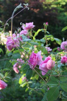 Clematis and Gertrude Jeykll rose Gertrude Jekyll Rose, Provence Garden, Provence Lavender, Rosy Pink, David Austin Roses, Pink Garden, Love Rose, Parcs, Clematis