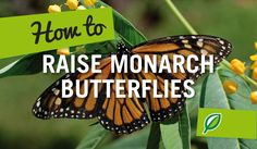 How to raise monarch butterflies. It is relatively easy to raise Monarch butterflies at home as long as their area is kept warm, clean and they have enough of their preferred food, the swan plant.