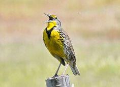 Western Meadowlark.. Absolute favorite songbird!