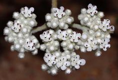 Dicrastylis species WAwildflowers RobDavis8181 Christmas Wreaths, Holiday Decor, Home Decor, Decoration Home, Room Decor, Home Interior Design, Home Decoration, Interior Design