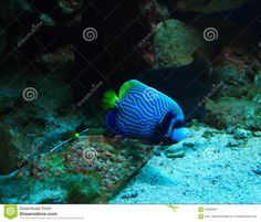 Photo about Exotic fish in a habitat of dwelling. Image of living, ocean, long - 61056967