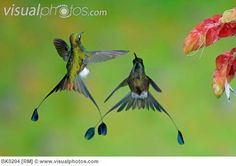Special Tail Hummingbird | Booted Racket-tail Hummingbird Males