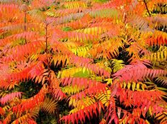 shrub autumn interest rhus