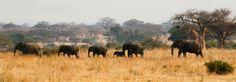 Southern circuit safaris wildlife tours destinations are Ruaha National Park, Mikumi, Udzungwa and Selous.  Booking Tanzania safari is online and easier at http://www.kilimanjarosafariholidays.com/southern_circuit_safari.htm