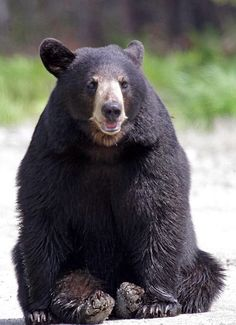 My favorite animal. Black bears.